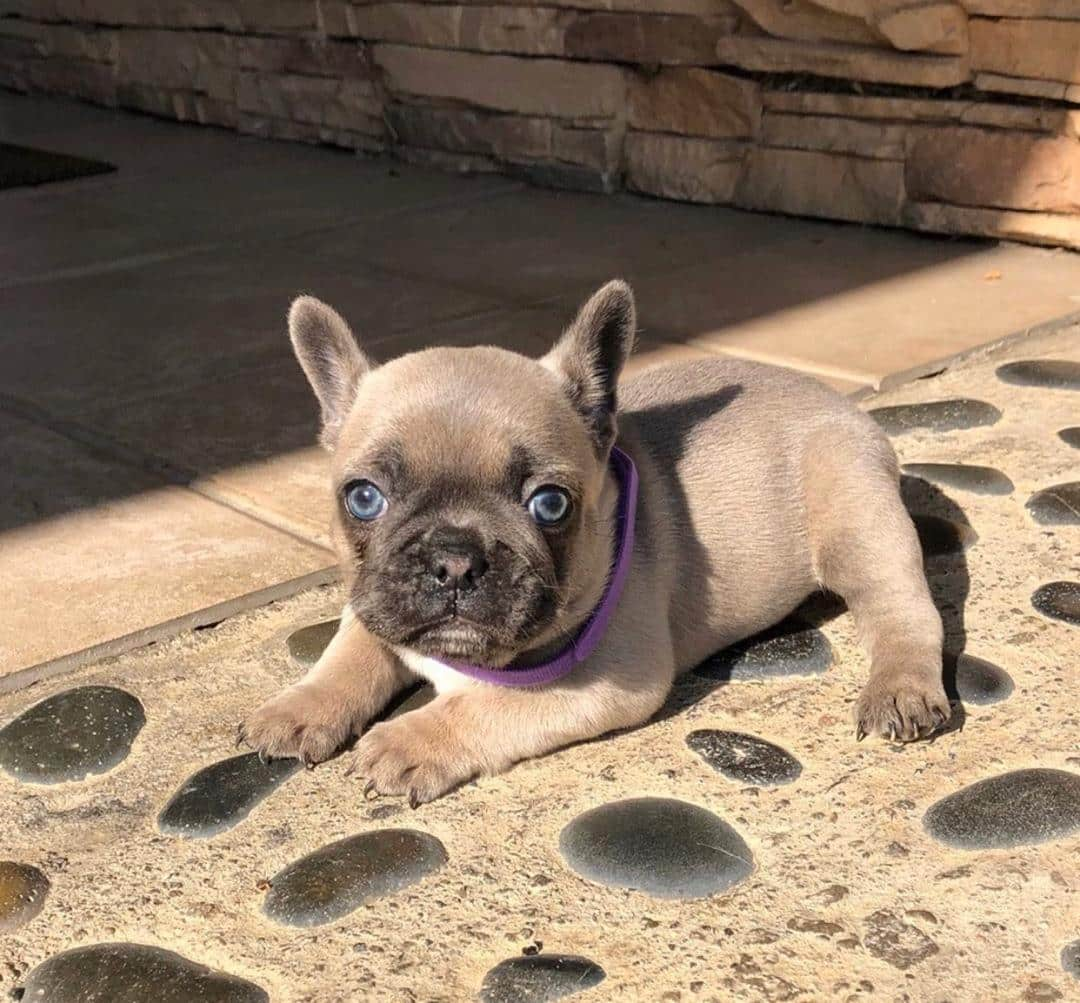 Cheap French Bulldog Puppies For Sale In Usa Affordable Puppy For Sale